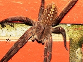 Apache Brown Spider